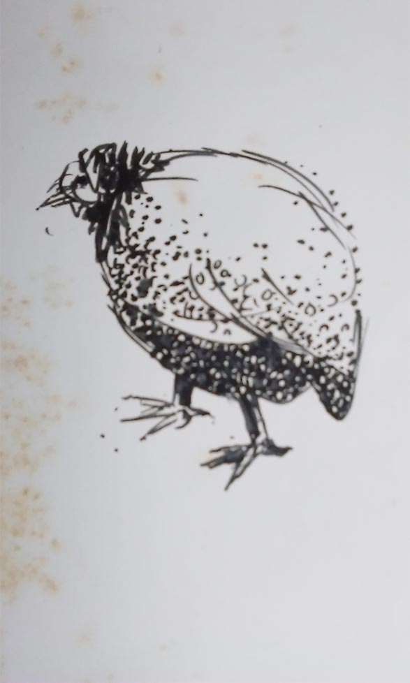Peahen Sketch